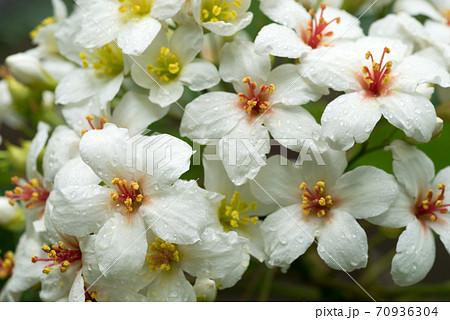 アブラギリの花のアップ 70936304