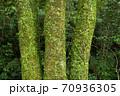 苔とマメヅタのついた3本の木の幹 70936305