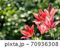 キラキラをバックにスカシユリの花 70936308