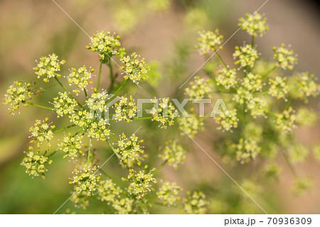 イタリアンパセリの花 70936309