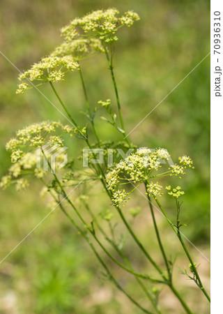 イタリアンパセリの花 70936310