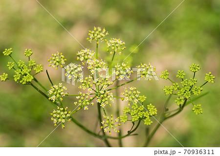 イタリアンパセリの花 70936311