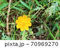 小さな黄花コスモス  レモンブライト 70969270