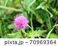 この秋に咲くアザミはノハラアザミ(野原薊) 70969364