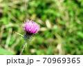 この秋に咲くアザミはノハラアザミ(野原薊) 70969365