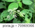 シラネセンキュウ(白根千芎)に似た ヤマゼリ(山芹) 70969366