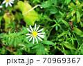花弁が細いカントウヨメナ(関東嫁菜)と小蝿 70969367