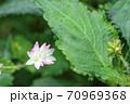咲き始めたミゾソバ(溝蕎麦)がとても綺麗です! 70969368