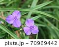 秋咲きのムラサキツユクサ(紫露草)が綺麗です! 70969442