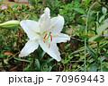 秋に咲く季節外れのカサブランカ 70969443