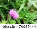 この秋に咲くアザミはノハラアザミ(野原薊) 70969444