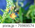 あまり見かけない珍しい花 ハナアロエ 70969574