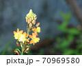 あまり見かけない珍しい花 ハナアロエ 70969580
