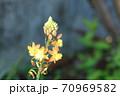 あまり見かけない珍しい花 ハナアロエ 70969582