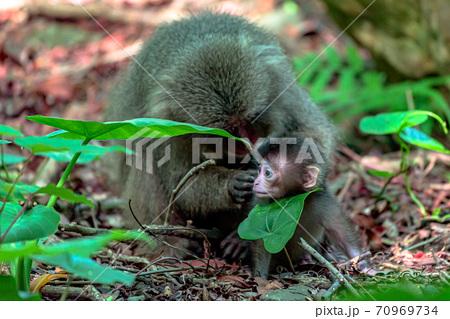 毛づくろいをするヤクザルの親子。世界遺産・環境・エコのイメージ表現 70969734