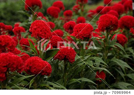 朝露を紅い衣に受けて旭を待つケイトウの花 70969964