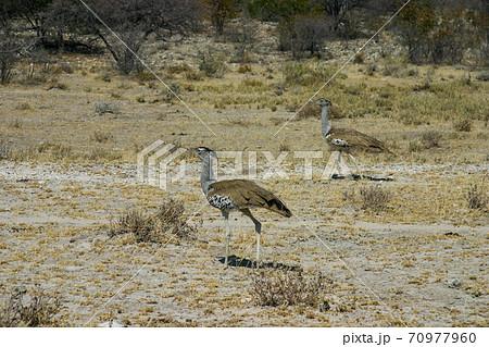 飛べる鳥の中で最も重いアフリカオオノガン 70977960