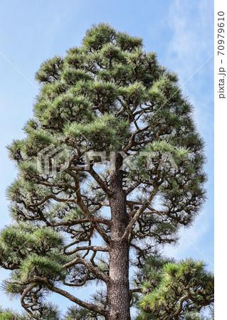 そびえ立つマツの木 70979610