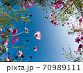 秋桜 青空の背景 70989111