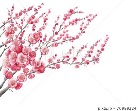 梅の花の水彩イラスト素材背景白 70989224