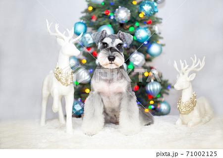 クリスマスツリー&トナカイのオブジェの前にいるシュナウザー 71002125