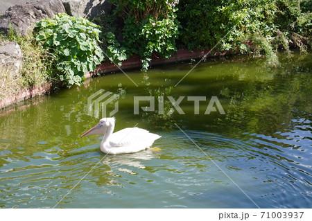伊豆シャボテン公園で気持ちよさそうに泳ぐペリカン 71003937
