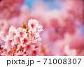 桜を愛でる春の休日 71008307