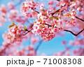 新しいスタートを告げる春のサクラ 71008308