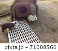 丹波篠山市遊び村のうさぎ 71008560