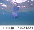 GoProで撮影した海中漂う青いクラゲ 71024824