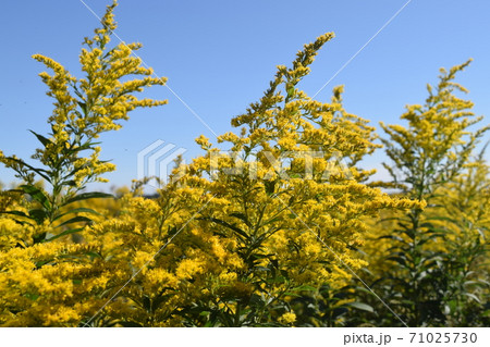黄色く満開、帰化植物のセイタカアワダチソウ 71025730