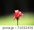 半八重咲の美しいバラ「プリンセス ミチコ」 71032456