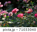 満開のバラ園(品種名 ケアフリーワンダー) 71033040