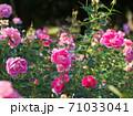 満開のバラ園(品種名 ケアフリーワンダー) 71033041