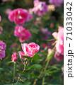 満開のバラ園(品種名 ケアフリーワンダー) 71033042