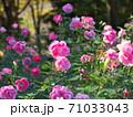 満開のバラ園(品種名 ケアフリーワンダー) 71033043