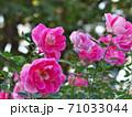 満開のバラ園(品種名 ケアフリーワンダー) 71033044