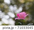 桃色がとても綺麗なバラ「ケアフリーワンダー」 71033045