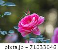 桃色がとても綺麗な修景バラ「ケアフリーワンダー」 71033046