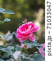 綺麗な桃色をした修景バラ「ケアフリーワンダー」 71033047