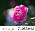 綺麗な桃色をした修景バラ「ケアフリーワンダー」 71033048