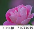 綺麗な桃色をした修景バラ「ケアフリーワンダー」 71033049