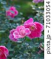 綺麗な桃色をした修景バラ「ケアフリーワンダー」 71033054