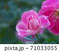綺麗な桃色をした修景バラ「ケアフリーワンダー」 71033055