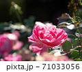 綺麗な桃色をした修景バラ「ケアフリーワンダー」 71033056