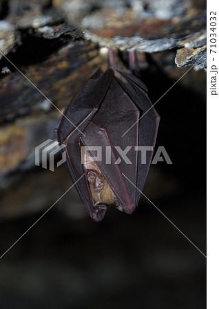 冬眠中のコウモリ 71034032