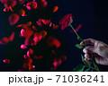 乱れ飛ぶ赤い薔薇花びら 71036241