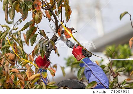 柿の木をのこぎりで剪定 71037912