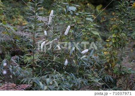 晩秋の林の中に咲く白い花、サラシナショウマ 71037971
