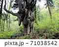 岩倉の乳房杉、隠岐の島 71038542